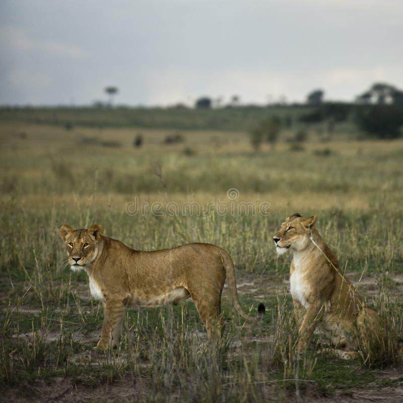 Zwei Löwinnen in der Savanne, Serengeti Nationalpark stockbild