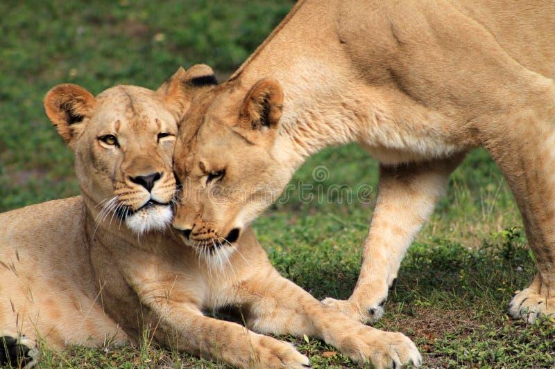 Löwinnen, die Köpfe knospen stockbilder