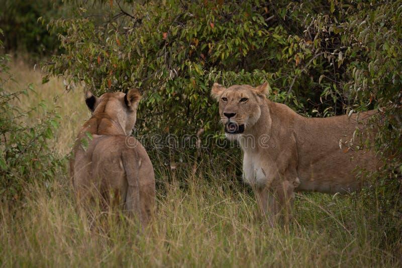 Zwei Löwinnen stehen im Gras unter Büschen stockfotografie