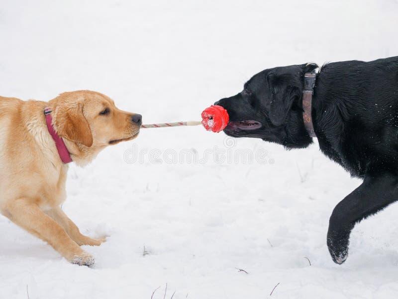 Zwei Labrador Hund, der mit rotem Spielzeug im Schnee spielt lizenzfreies stockbild