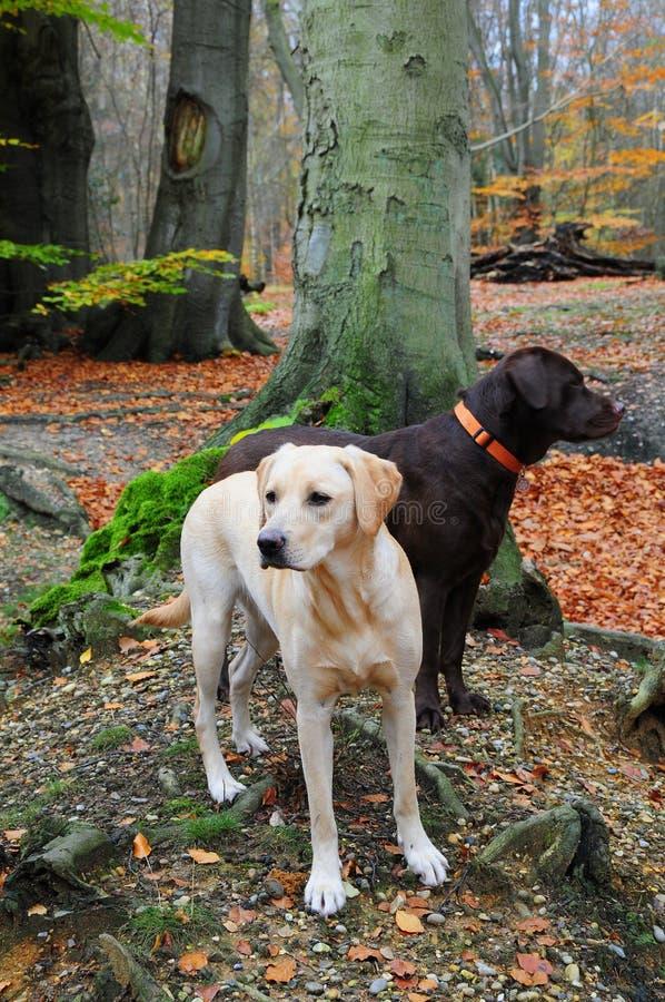 Zwei labradors lizenzfreies stockbild