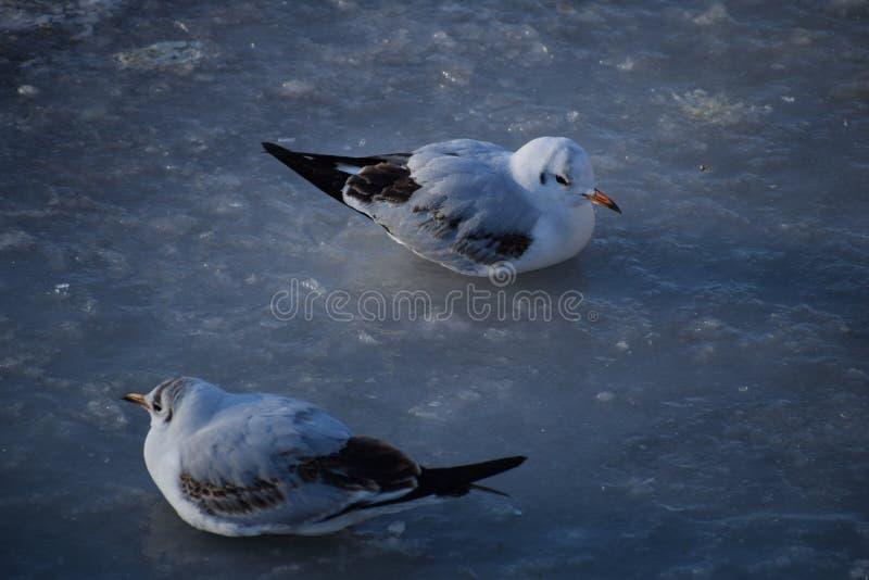 Zwei Lachmöwen sind auf dem tragenden Winter des Eises und dem jugendlichen Gefieder lizenzfreie stockfotos
