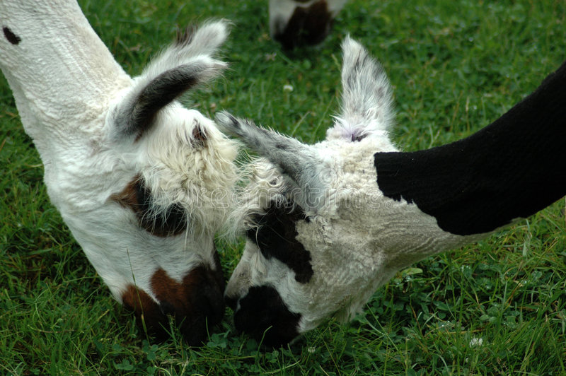 Zwei Lamas stockbilder