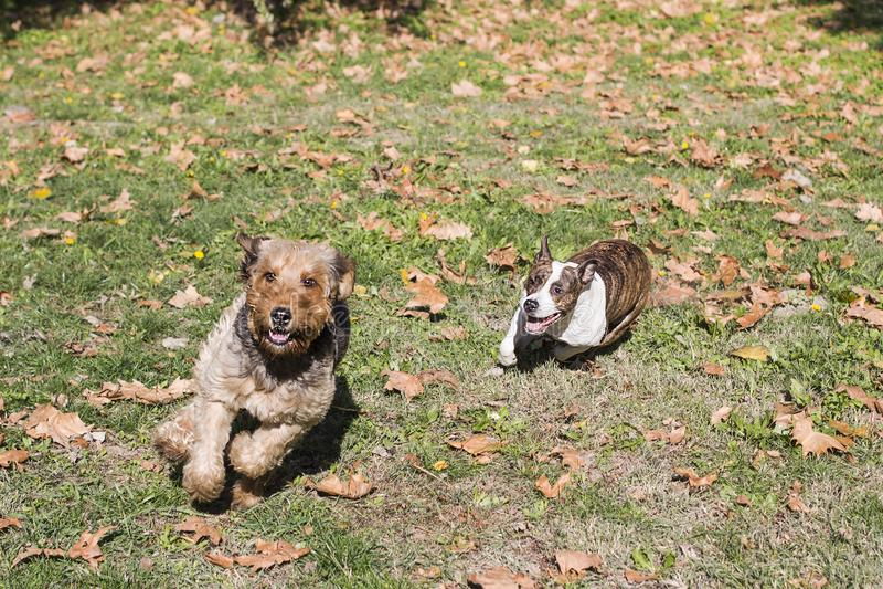 Zwei laufende Hunde lizenzfreies stockbild