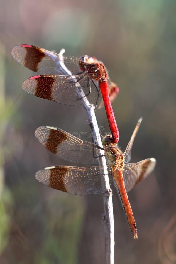 Zwei Libellen stockbild