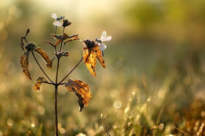 zwei Libellen auf einer trockenen Anlage lizenzfreie stockfotografie