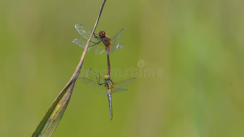 Zwei Libellen in der Wiedergabe stockbild