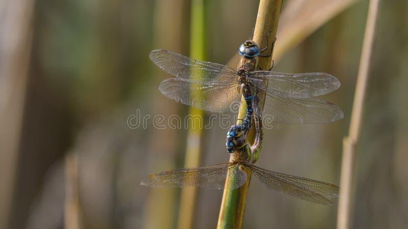 Zwei Libellen in der Wiedergabe stockfotografie