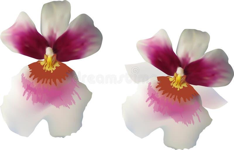 Zwei lokalisierten weiße Orchideenblumen mit roten Mitten vektor abbildung
