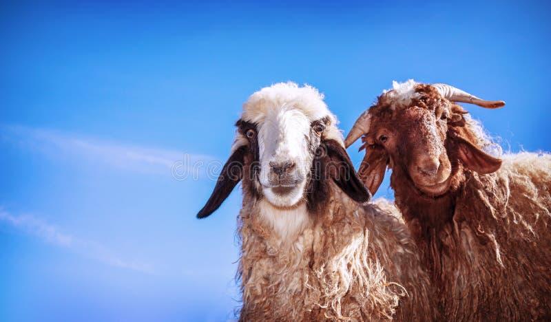 Zwei lustige Schafe stockbild
