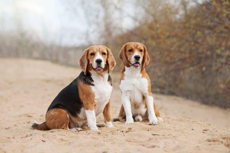 Zwei lustige Spürhundhunde lizenzfreies stockfoto