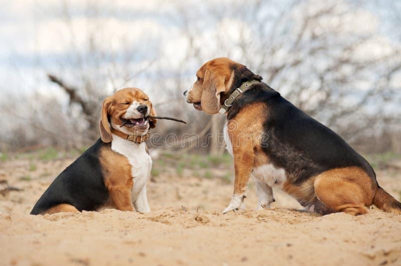 Zwei lustige Spürhundhunde lizenzfreies stockbild