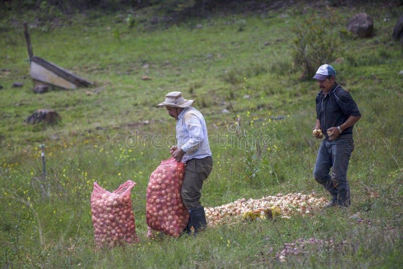 Zwei Männer, die Zwiebeln auf einem Gebiet aufheben stockfoto