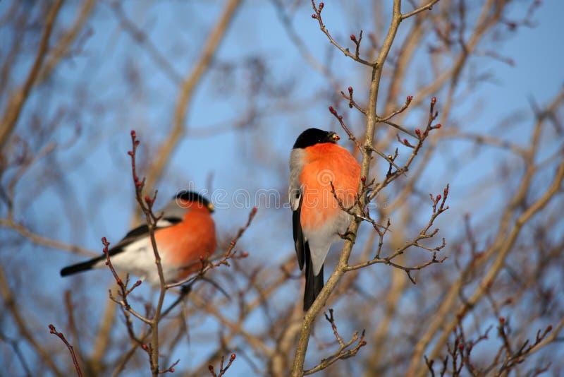 Zwei männliche Bullfinch auf einem Zweig, der im Winter Knospen ernährt stockbild