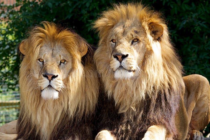 Zwei männliche Löwen stockfotos