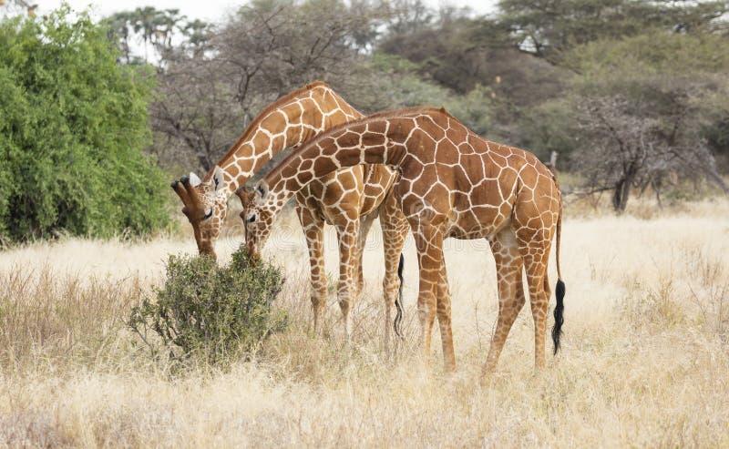 Zwei männliche retikulierte Giraffen, Giraffa camelopardalis reticulata, Blätter vom Strauch in der Savannenlandschaft essend lizenzfreie stockfotografie
