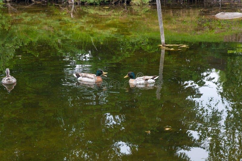 Zwei männliche Stockenten und weibliche Stockente, die auf ein pon schwimmen stockfotos