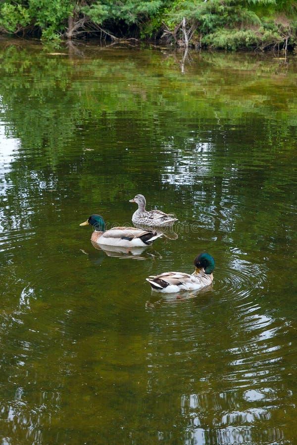 Zwei männliche Stockenten und weibliche Stockente, die auf einen Teich zur Sommerzeit schwimmen lizenzfreie stockfotos