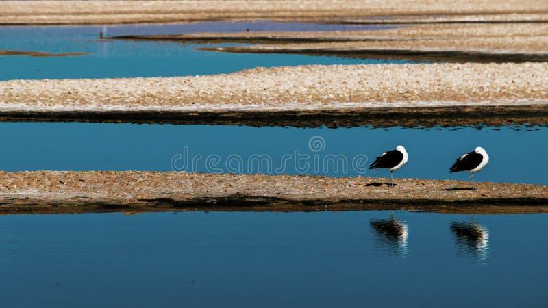 Zwei Möven im See lizenzfreie stockfotos