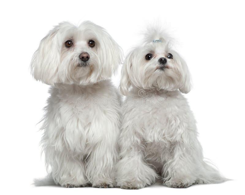 Zwei maltesische Hunde stockbild