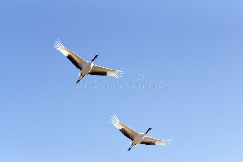 Zwei Mandschurenkraniche auf dem blauen Himmel stockbild