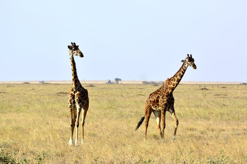 Zwei Masaigiraffen Giraffa camelopardalis tippelskirchii stockfotos