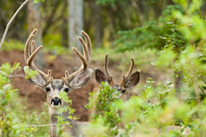 Zwei Maultierrotwilddollars mit den Samtgeweihen lizenzfreies stockfoto