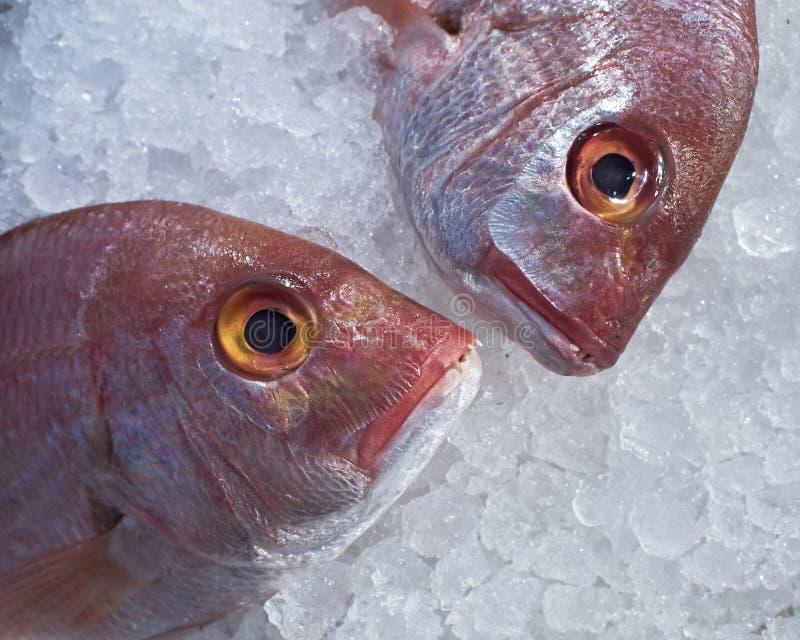 Zwei Meerbrachsen-Fischköpfe im Eis stockbilder