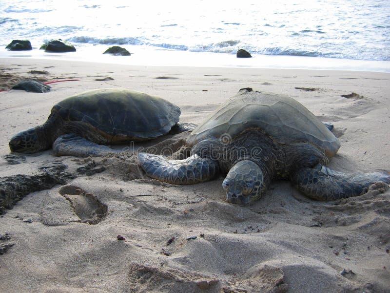 Zwei Meeresschildkröten, die auf dem Strand sich sonnen lizenzfreies stockfoto