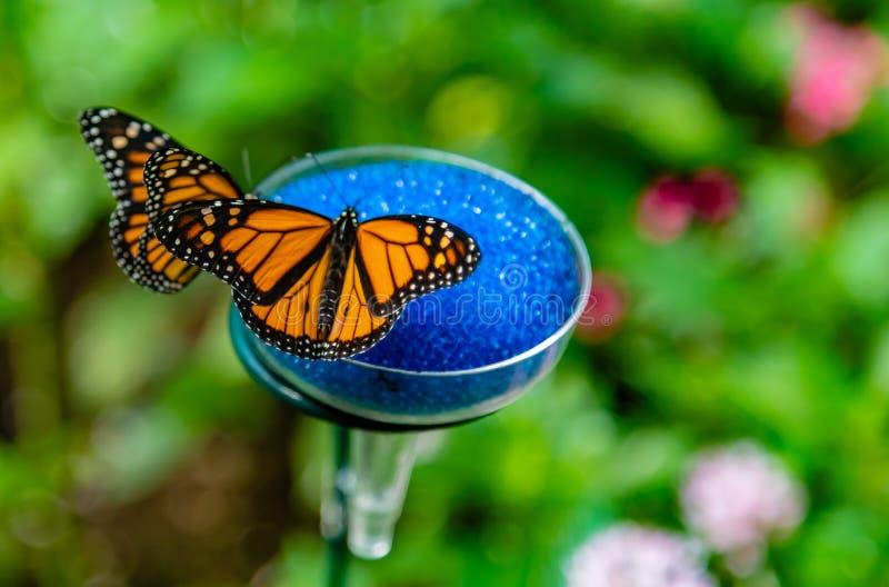 Zwei Monarchfalter O eine Fütterungsstation lizenzfreie abbildung