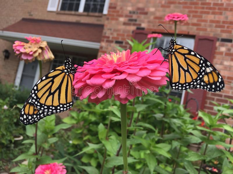 ZWEI Monarchfalter sitzen auf Blume nach Freigabe lizenzfreies stockbild