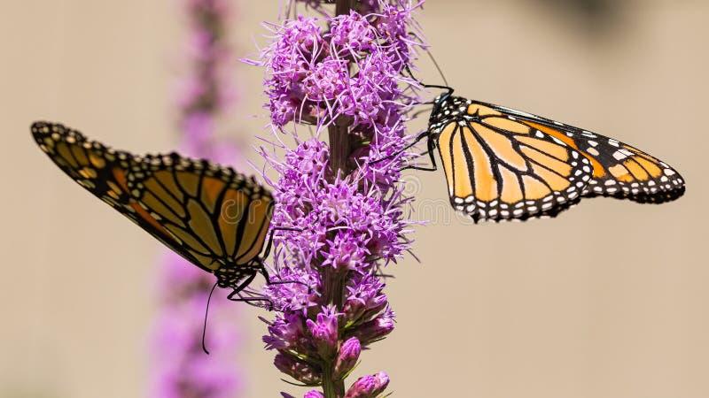 Zwei Monarchschmetterlinge Danaus plexippus füttern sich an einer Liatris Liatris spicata Blume lizenzfreie stockfotos