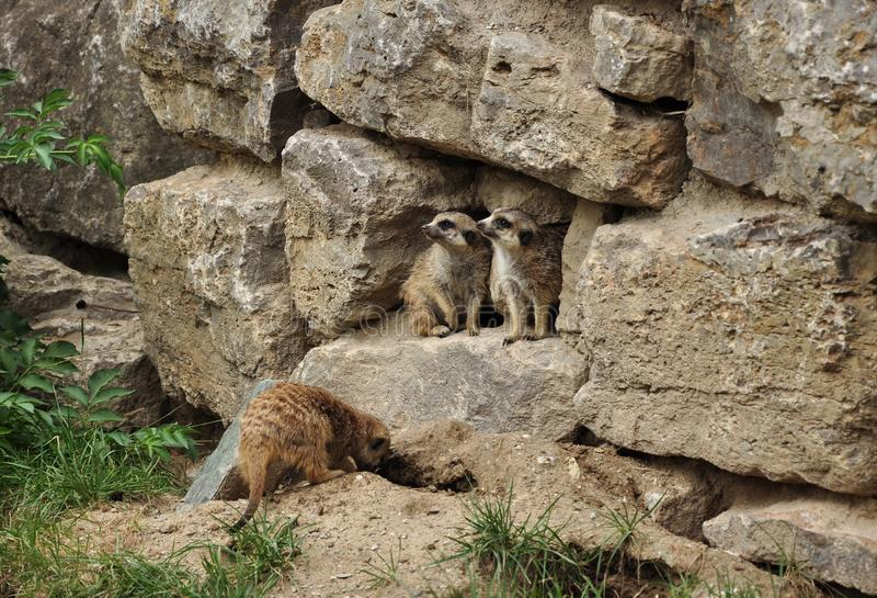 Zwei Murmeltiere, die zu einer Seite schauen