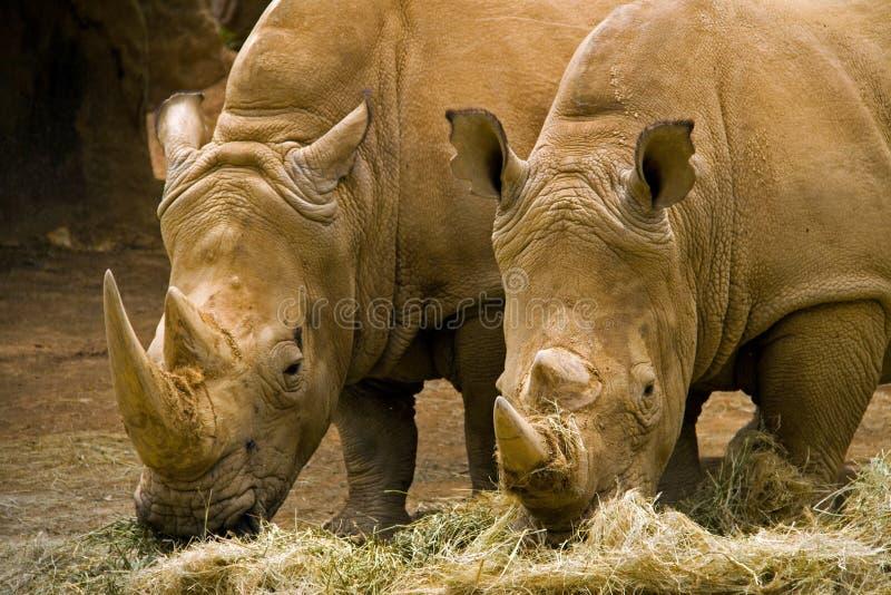Zwei Nashörner stockfotos