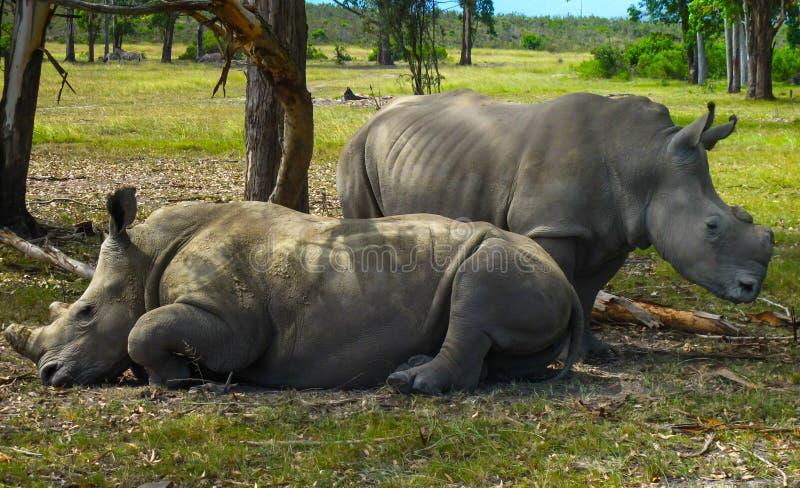 Zwei Nashörner in Südafrika lizenzfreie stockfotografie