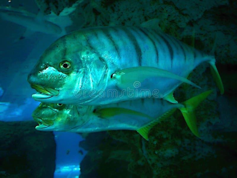 Zwei Neonfische in einem Aquarium, Abschluss oben stockfotos