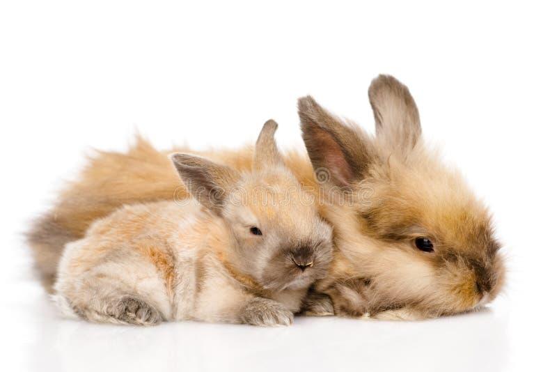 Zwei nette Kaninchen Getrennt auf weißem Hintergrund lizenzfreie stockfotografie
