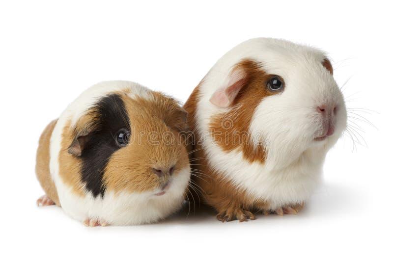 Zwei nette Meerschweinchen lizenzfreies stockfoto