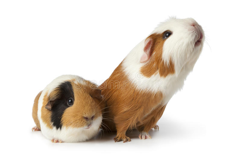 Zwei nette Meerschweinchen lizenzfreies stockbild