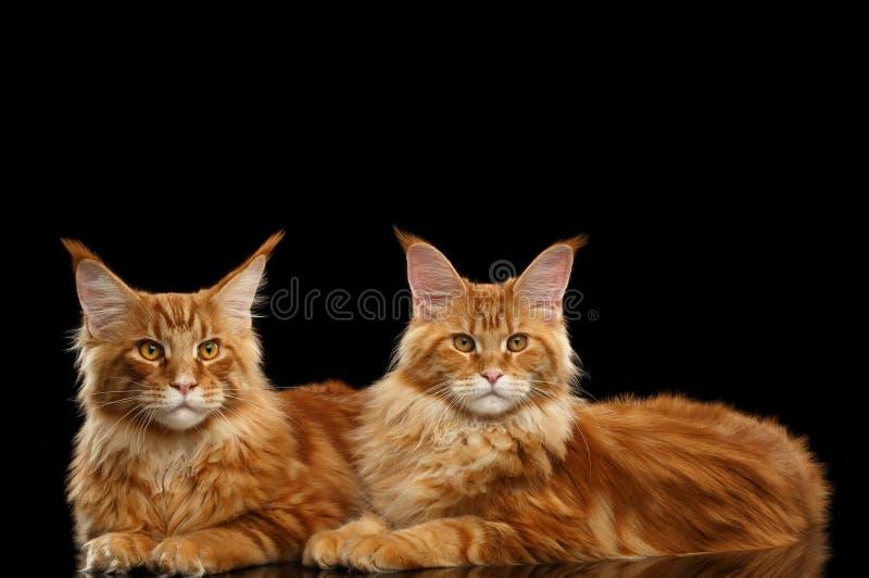 Zwei nette rote Maine Coon Cats Lying, lokalisierter schwarzer Hintergrund stockfoto