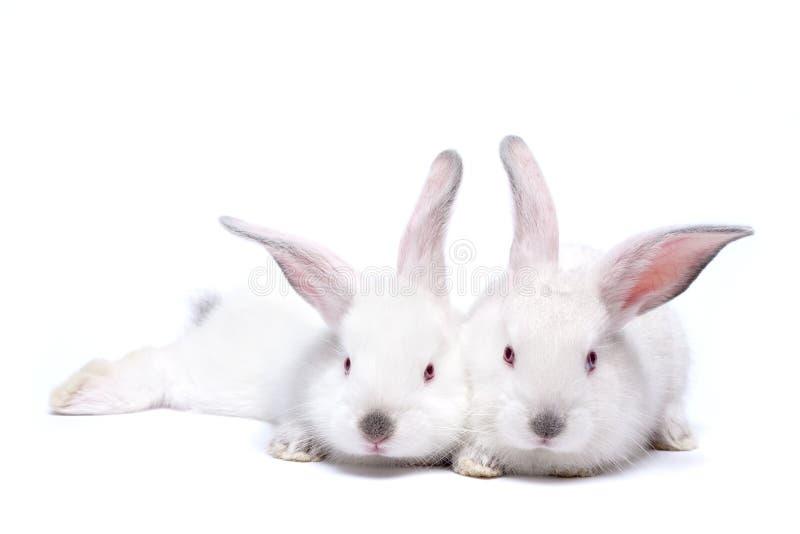 Zwei nette weiße getrennte Schätzchenkaninchen lizenzfreie stockfotografie