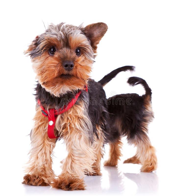 Zwei neugierige kleine Yorkshire-Welpenhunde stockfotografie