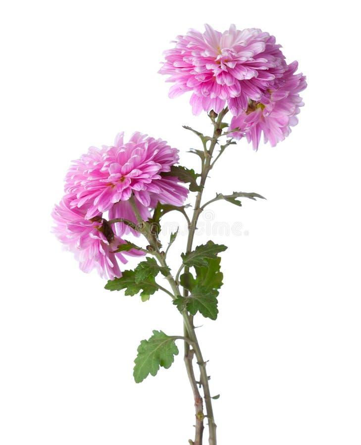 Zwei Niederlassungen mit Blumen von Chrysanthemen lizenzfreies stockbild