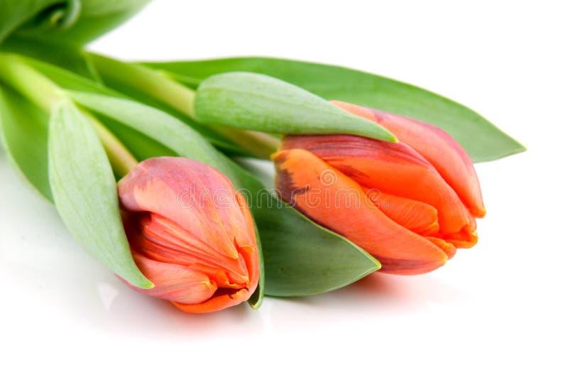 Zwei orange Tulpen stockfoto