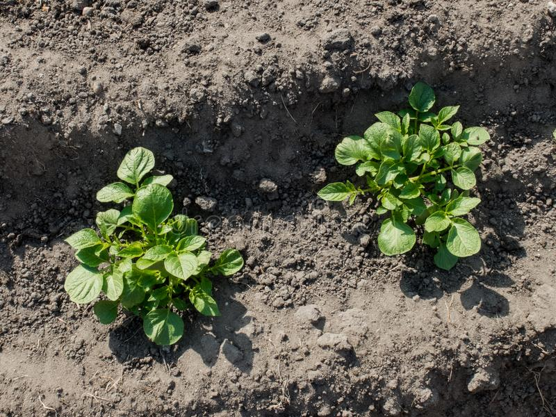 Zwei organische Kartoffelpflanzen in Folge stockbild