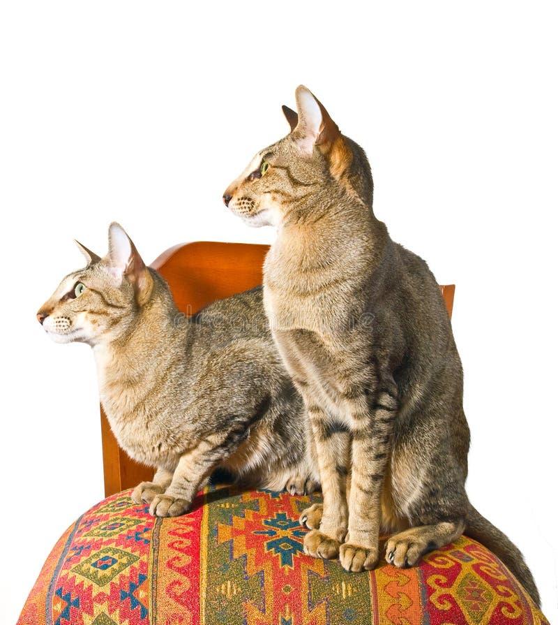 Orientalische Katze, Die Auf Stuhl Sitzt Stockfoto - Bild ...