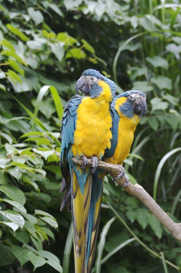 Zwei Papageien lizenzfreies stockfoto