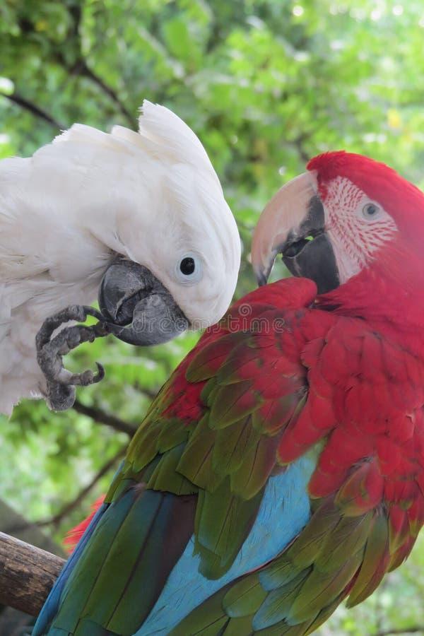 Zwei Papageien im Park stockfoto