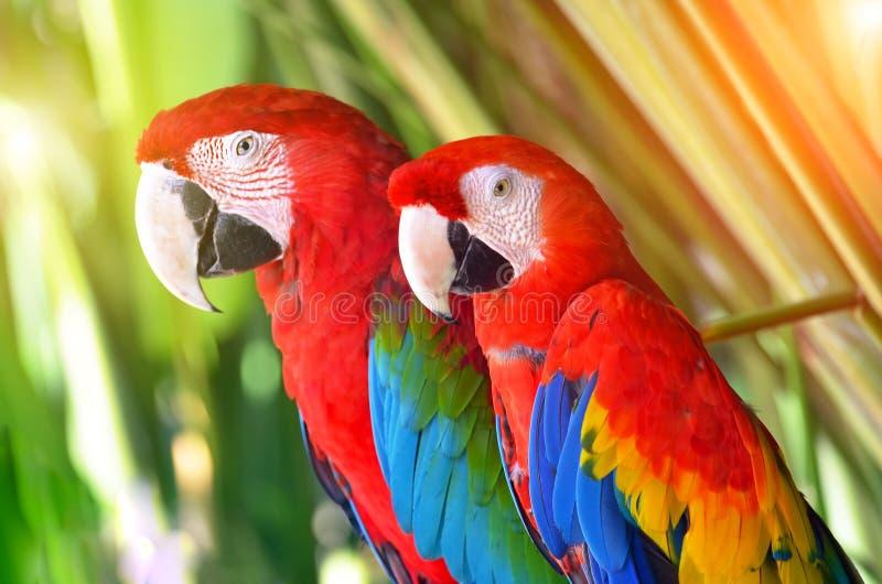 Zwei Papageien rot in den tropischen Waldvögeln lizenzfreie stockfotos