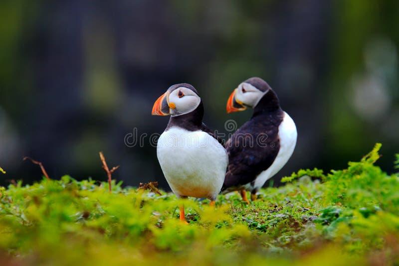 Zwei Papageientaucher stockfoto